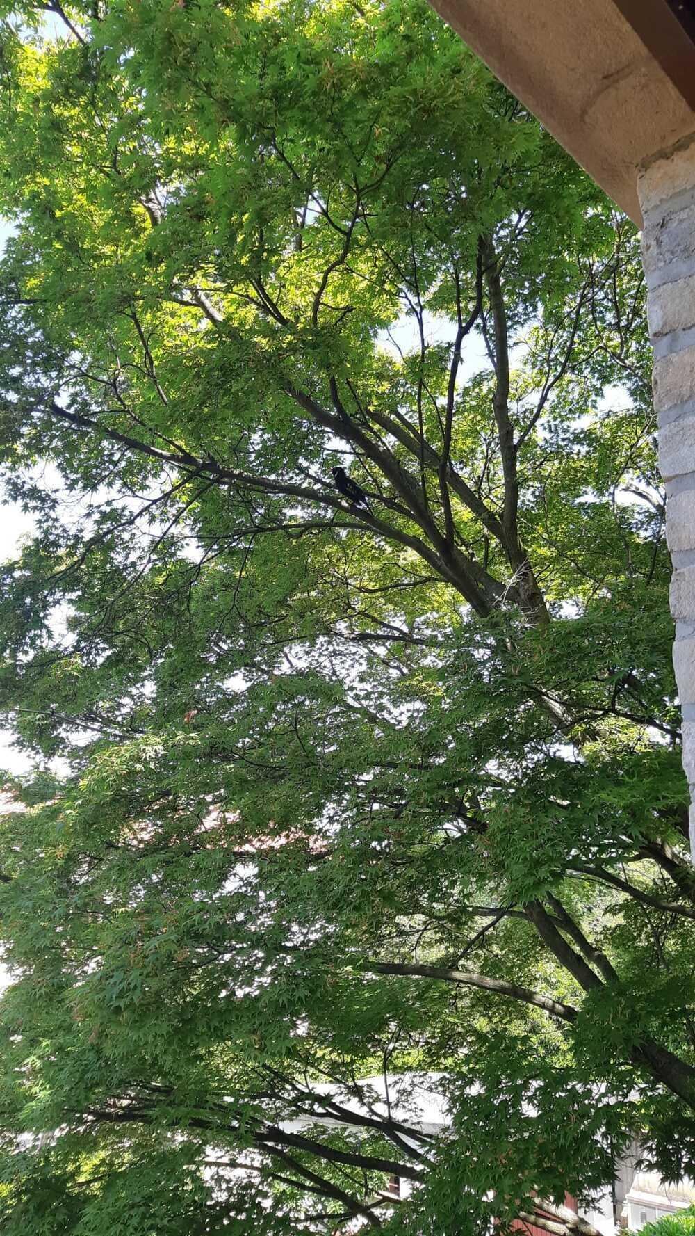 Il merlo dell\'albero accanto
