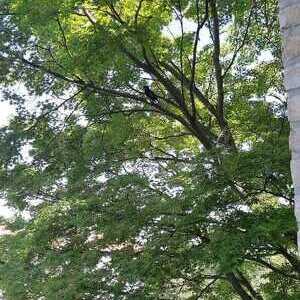 Il merlo dell'albero accanto